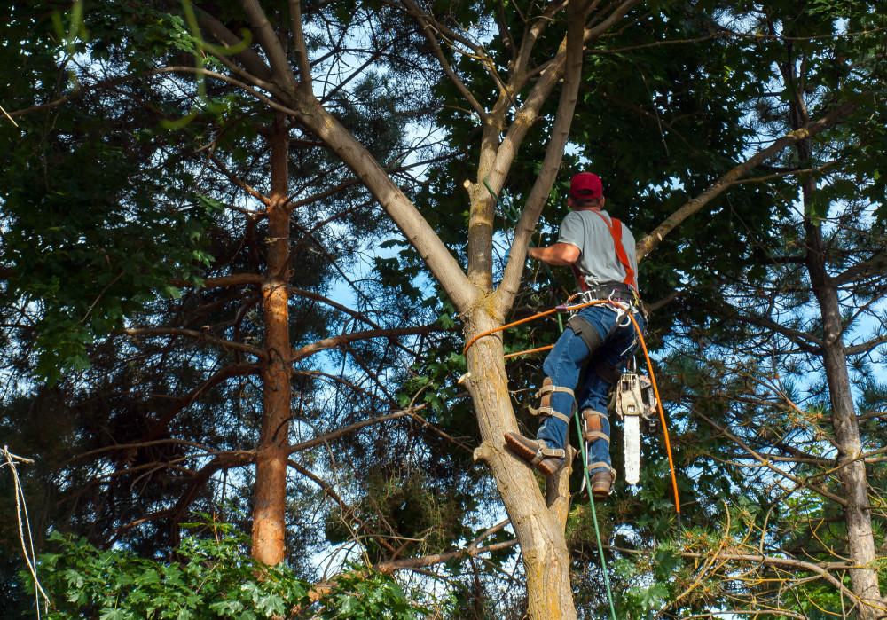 Arborist trimming a tree